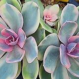 웨스트레인보우1371|Echeveria rainbow