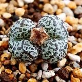 옵코델룸 우르스 C.obcordellum ursprungianum|