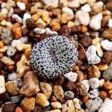 쎄레시아넘 C. obcordellun var. cesesianum|