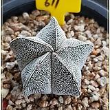온즈카 실생|Astrophytum myriostigma cv. ONZUKA