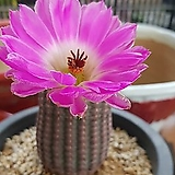 자태양실생|Echinocereus rigidissimus Purpleus