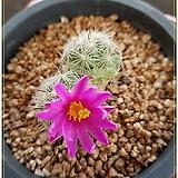 부리 2두실생(Mammillaria boolii )|