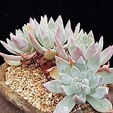 Graptopetalum Paraguayensis 'Awayuki'