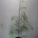 코그나타 가는잎아카시아C1031-외목대,동일품배송 