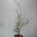 마오리소포라,대품CA598-외목대,동일품배송,무료배송 