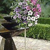 칵테일 히비스커스 샤론의 장미 화분상품♥멀티컬러 외목수형 무궁화♥한나무에 두가지 색상 꽃이 핍니다~|