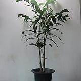여우꼬리야자,대품CA755-3대,동일품배송,무료배송 