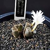 4548-C.pellucidum ssp. pellucidum(Saalberg)살베르그|