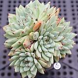 원종자라고사 0802-23 |Echeveria mexensis Zaragosa