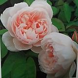 영국장미.더 제너러스 가드너.특대품.old rose 향기.산호핑크.(꽃형 컵형 예쁨).울타리.넝쿨장미.월동가능.상태굿..늦가을까지 피고 합니다.|
