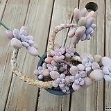 수형예쁜 대품 묵은자연군생 아메치스|Graptopetalum amethystinum