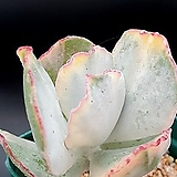 은파금휘광|Cotyledon undulata