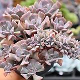 큐빅프로스티철화 0802-28 |Echeveria pulvinata Frosty