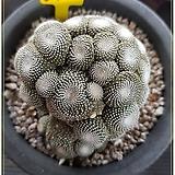 송로옥 (접목) (Blossfeldia liliputana) 중대품|