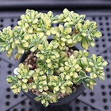 린들레이금 0802-34 |Aeonium Lindleyi