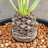 철갑환 멋쟁이아프리카식물이구요  가격대비사이즈좋아요  889|