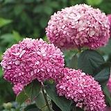 세종식물원 신품종 핑크아나벨 수국 (120L)