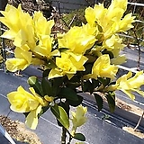 신품종 조경수 정원수 스프링참 황금 사철나무 묘목 화분|