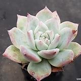 콜로라타아이스중품 7755|Echeveria colorata
