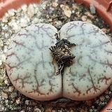 사이즈큰 리톱스 외두슈도트런카텔라(선별했어요) 특가 7788|Lithops