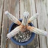 구갑기린|Euphorbia submamillaris