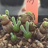 모닐리포메 117(토끼귀)(10두자연, 분채배송)|