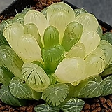 호박옵투사금  0804-822|Haworthia cymbiformis var. obtusa