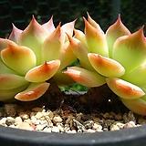 핑크팁스0804 Echeveria Pink Tips