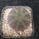 오베사(암)-1801|Euphorbia obesa (Baseball Plant)
