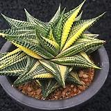유리전 금-1801|Haworthia limifolia f.variegata