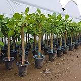 뱅갈고무나무   키 110~ 130cm  랜덤발송|
