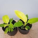 필로덴드론   문샤인 수입식물|
