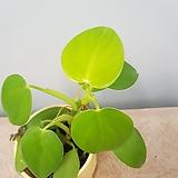 필로덴드론  에메랄드 그린  수입식물|