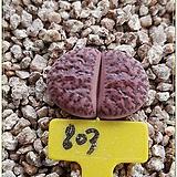 루브로로세우스 (Lithops bromfieldii Rubroroseus) |