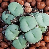 코노피튬  미니종군생입니다  많이없는품종입니다  856|Conophytum