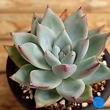 콜로라타아이스 Echeveria colorata