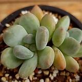 후레뉴 Pachyphytum cv Frevel