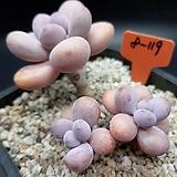 아메치스 자연군생|Graptopetalum amethystinum