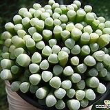 오십령옥0805-2 Fenestraria aurantiaca