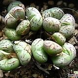 위트버젠스0805-2 Conophytum Wittebergense