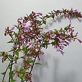 플럼바고/하늘꽃/11월까지 개화