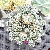 Graptopetalum pachyphyllum Bluebean