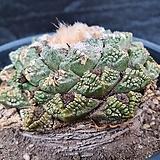 멕시코야생귀갑목단-54