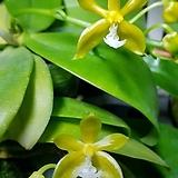 호접원종.매니아이바이닷그린*시브.실생.(예쁜진한노랑색).꽃모양특이함.잎은 작은편.고급종.상태굿.귀한품종.너무나예뻐요.아주좋은 향기가 끝내줍니다.|