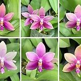 호접원종.KS1701p.테트라스피스 프머닷 세미알바4N+벨리나4N.실생.(연보라색에 진한보라색립술).고급종.상태굿.귀한품종.너무나예뻐요.아주좋은 향기가 끝내줍니다.|Echeveria Alba Beauty
