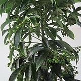 열매가득~만냥금C1055-외목대,동일품배송 