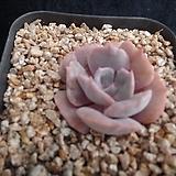 릴리시나금182|Echeveria lilacina