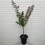 ♥백일홍 외목대 베롱나무♥ 