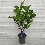 ♥떡갈나무 48 ♥공기정화식물 