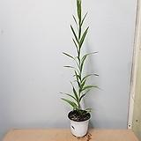 긴잎아카시아|